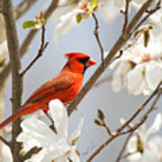 Cardinal In Magnolia Poster