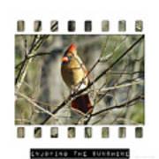 Cardinal In Sunshine Poster