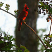 Cardinal In The Crepe Myrtle Poster