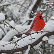 Cardinal In The Snow 1 Poster