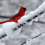 Cardinal In The Snow Poster