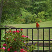 Cardinal On Fence Poster