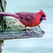 Cardinal Perched Poster