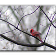 Cardinal Perched On A Branch Poster