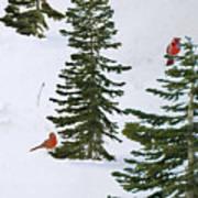 Cardinal Trees Poster