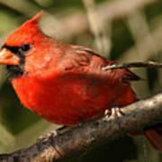 Cardinal Up Close Poster