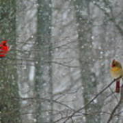 Cardinals In Snow Poster