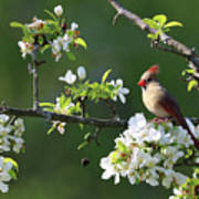 Cardinals In Spring Poster