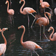Caribbean Flamingoes At The Sedgwick Poster by Joel Sartore