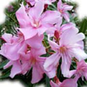 Caribbean Oleander Poster
