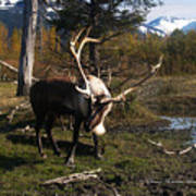 Caribou In Autumn Poster