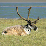 Caribou Resting Poster