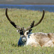 Caribou Resting In Tundra Grass Poster