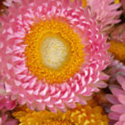 Carmel Flower Poster