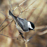 Carolina Chickadee - Birds At Bisset Park Poster