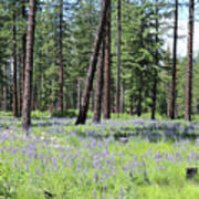 Carpet Of Lupine In Washington Forest Poster
