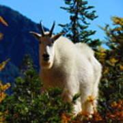 Cascade Range Mountain Goat Poster