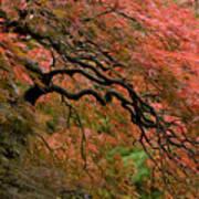 Cascading Japanese Maple Poster