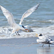 Caspian Tern Feeding Young Poster