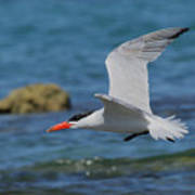 Caspian Tern Poster by Tony Brown