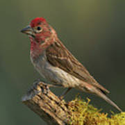 Cassin's Finch Poster