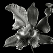 Catalea Orchid In Black And White Poster