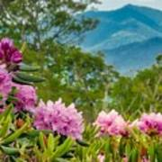 Catawba Rhododendron At The Craggy Poster