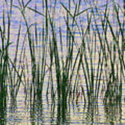 Cattails In The Lake Poster