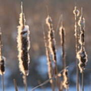 Cattails In Winter Poster