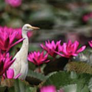 Cattle Egret amongst Waterlilies Poster