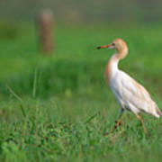 Cattle Egret In Greenery Poster