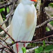 Rainbow Bill Cattle Egret Poster