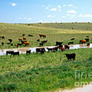 Cattle Graze On Reclaimed Land Poster