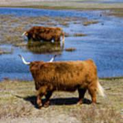 Cattle Scottish Highlanders, Zuid Kennemerland, Netherlands Poster