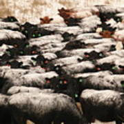 Cattle With Snow On Their Backs Poster