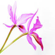 Cattleya Guatemalensis Poster by Charline Xia