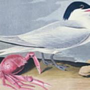 Cayenne Tern Poster by John James Audubon