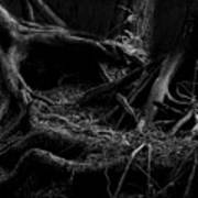Cedar Roots Black And White Poster