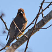 Cedar Wax Wing On The Lookout Poster