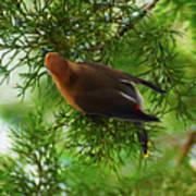 Cedar Waxwing Beauties 1 Poster