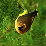 Cedar Waxwing Beauties 9 Poster
