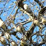 Cedar Waxwing Family Poster