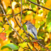 Cedar Waxwing In Autumn Leaves Poster