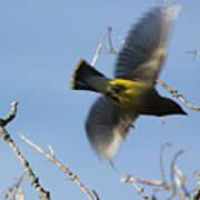 Cedar Waxwing In Flight Poster