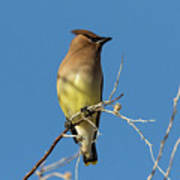 Cedar Waxwing Poses Poster