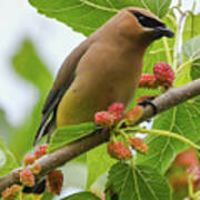 Cedar Waxwing With Mulberries Poster