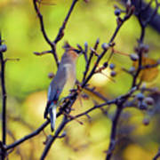 Cedar Waxwing With Windblown Crest Poster