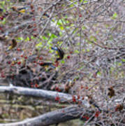 Cedar Waxwings Feeding Poster