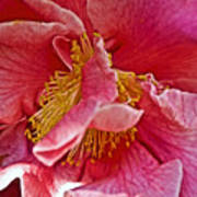 Center Of A Pink Camellia At Pilgrim Place In Claremont-california  Poster