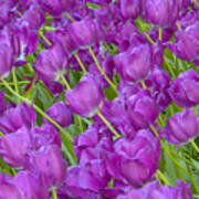Central Park Spring-purple Tulips Poster